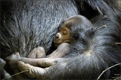 Nu avortului şi experimentelor pe embrionii…gorilelor