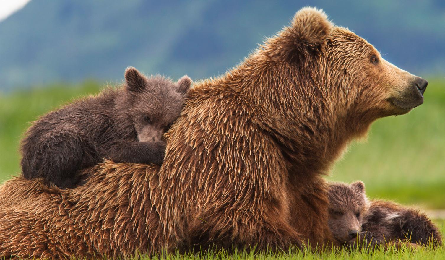 O ursoaică nu poate fi luată de lângă puii săi, dar copiii pot fi luați de lângă mamele surogat