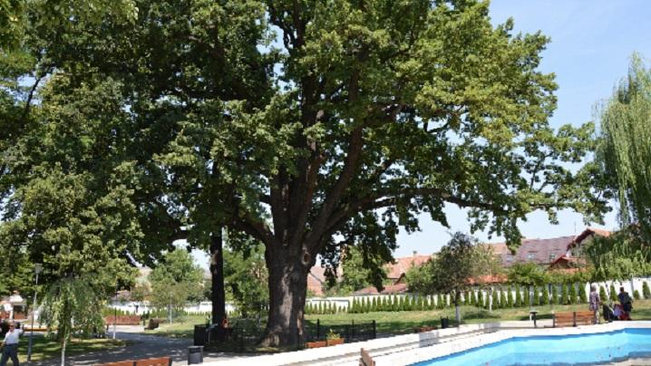 """În centrul Blajului: """"Stejarul lui Avram Iancu"""", un """"bătrân"""" de peste 600 de ani, își spune liniștit povestea"""
