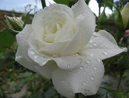 Un trandafir alb pentru Papa Francisc