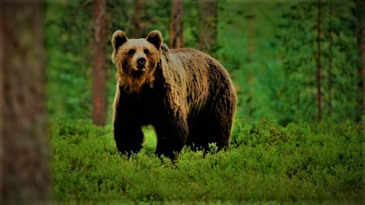 Dumnezeu a trimis un urs pentru a proteja un copil pierdut în pădure?